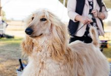 are afghan hounds hypoallergenic