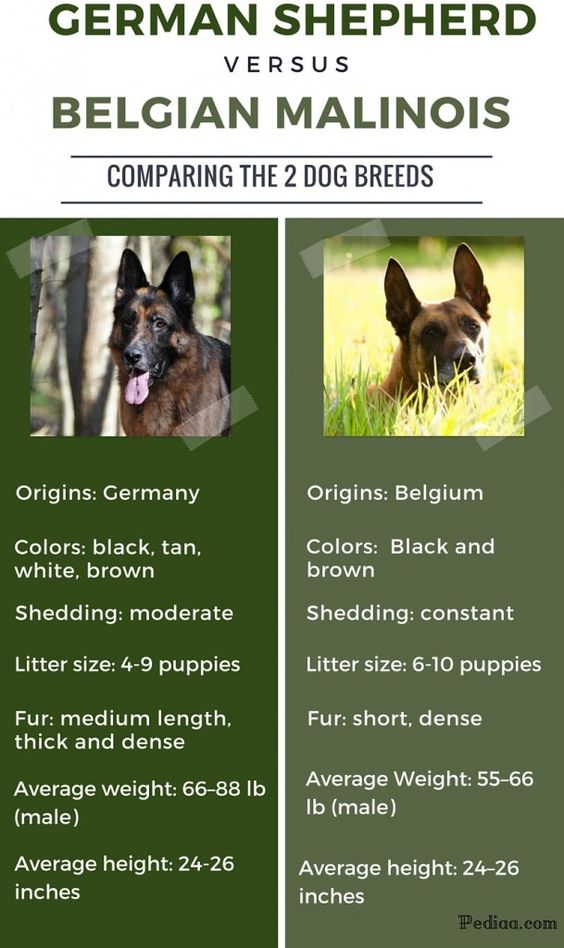 difference-between-german-shepherd-and-belgian-malinois