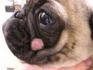 How do you get rid of ringworm in a dog