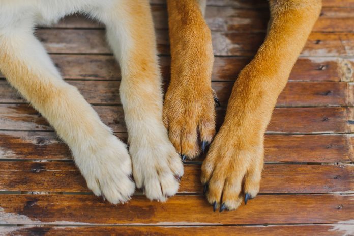 dog paws yeast infection home remedy